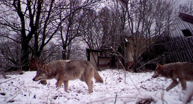 Fauna selvatica a Chernobyl