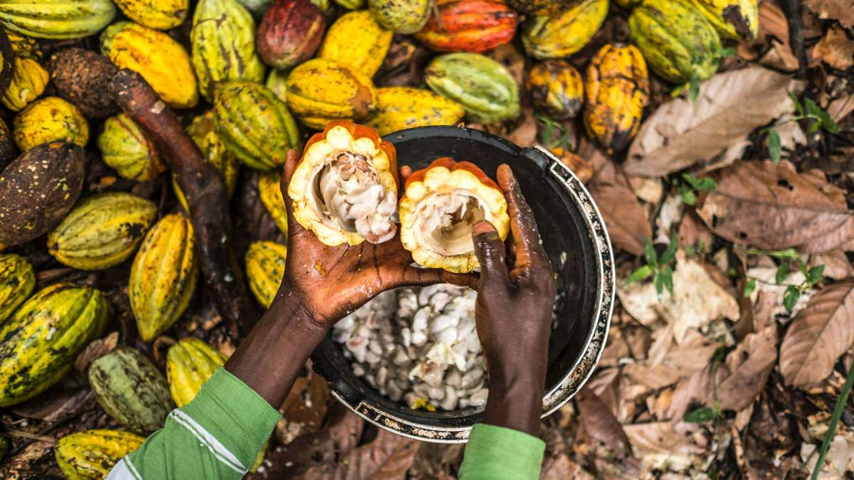 La crisi del cacao e come risolverla